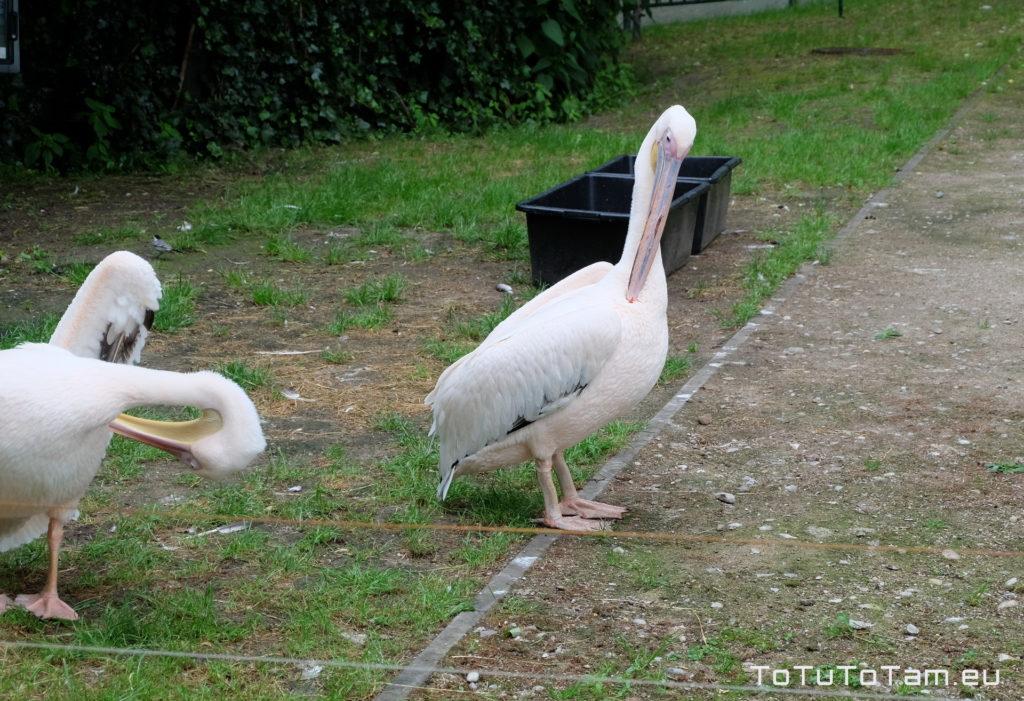 Pelikany Różowe Park Miejski im. Majkowskiego Wejherowo